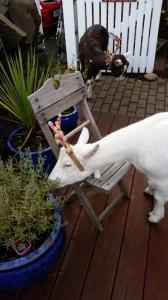 goat, lavender, eating, antlers