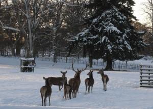Dunbarney Walk, deer Winter