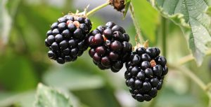 blackberries or brambles