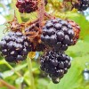 Blackberry Picking Season